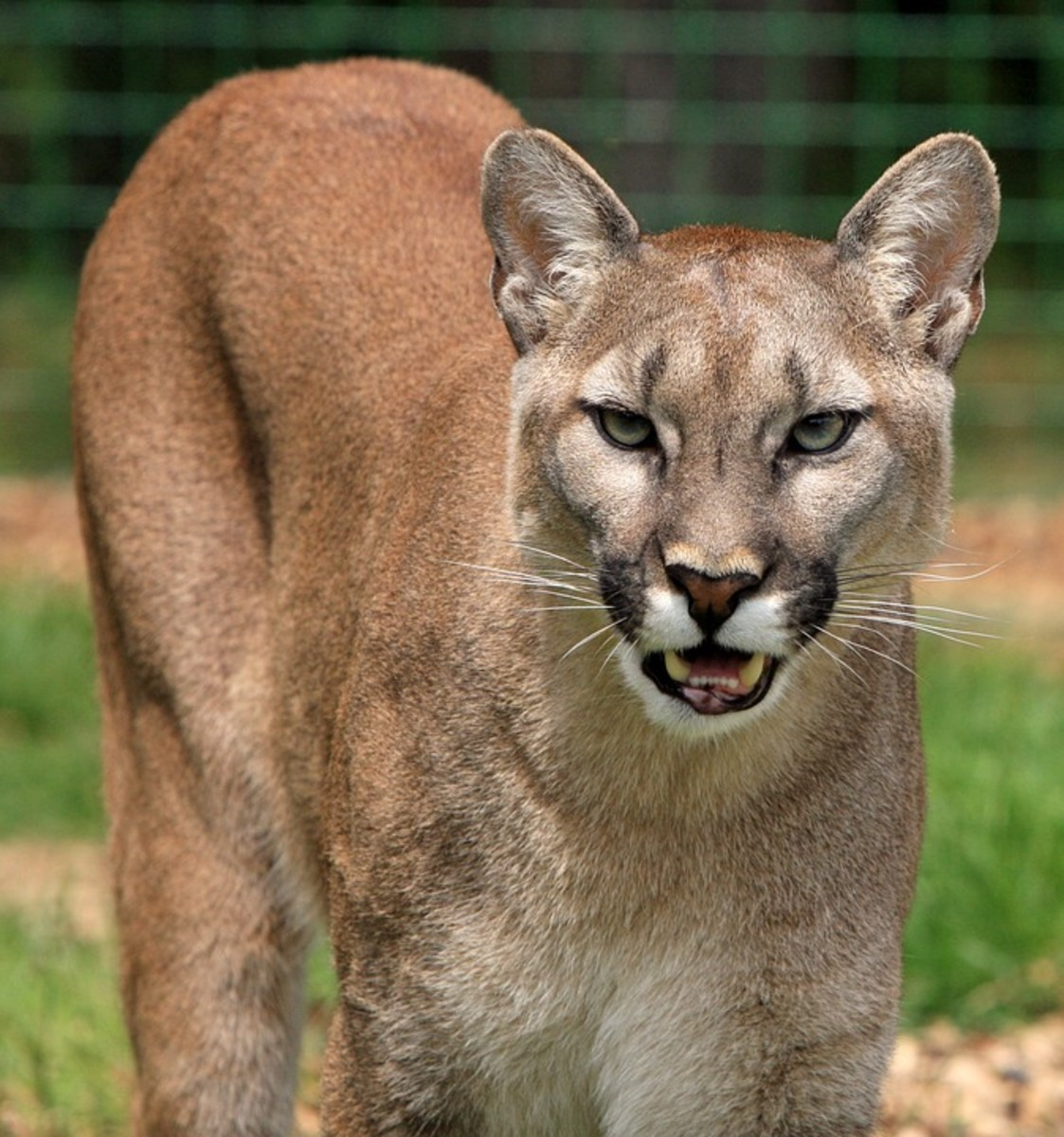 Cougar or Mountain lion possibly readying for an attack.
