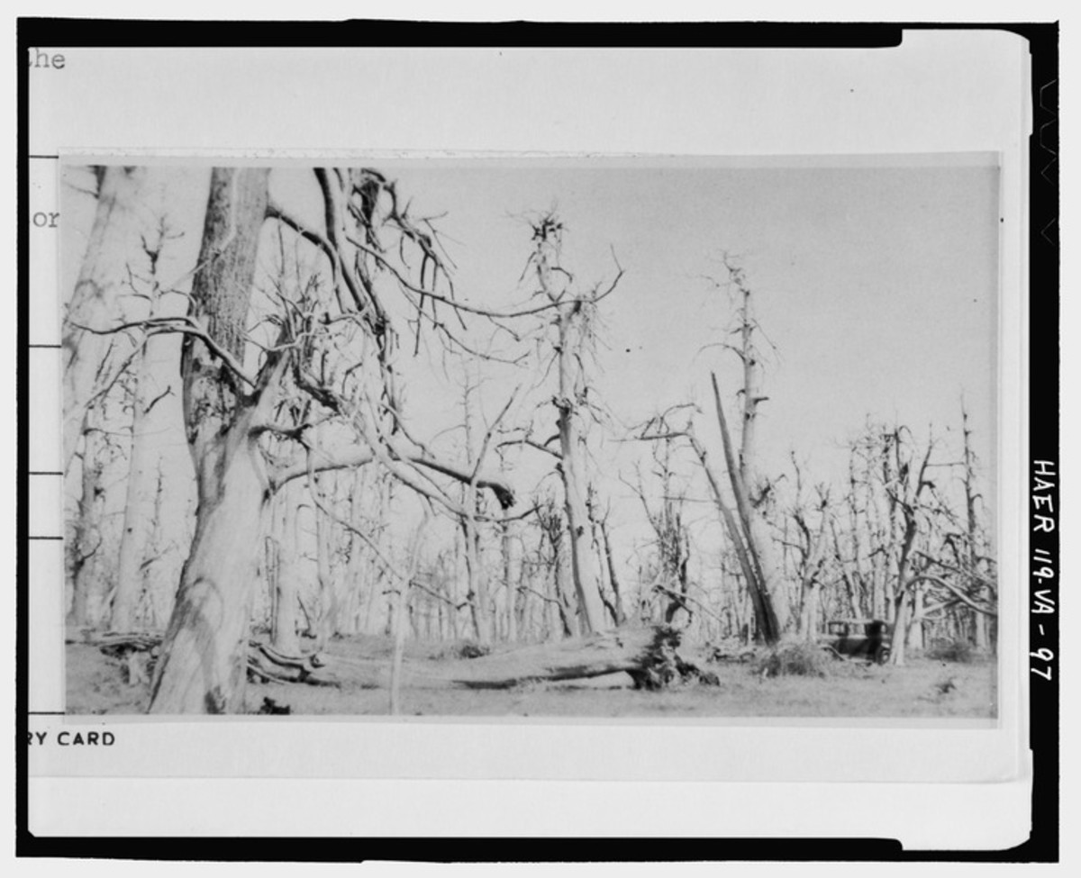 Ghostly American Chestnut Trees after the blight