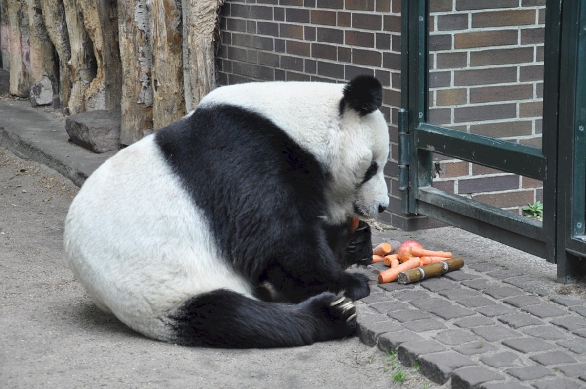 Pandas love to eat and sleep, and dislike mating and socializing.