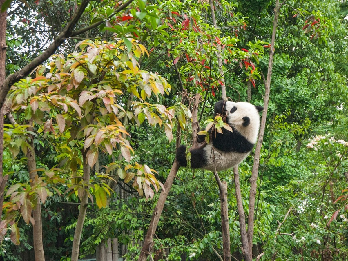 Pandas spend most of their time looking for food and eating.