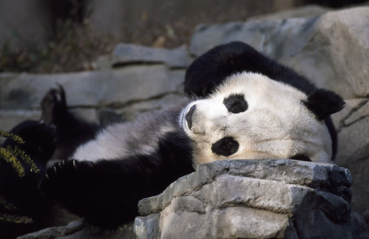 Though pandas don't hibernate, they do spend much of their day sleeping.