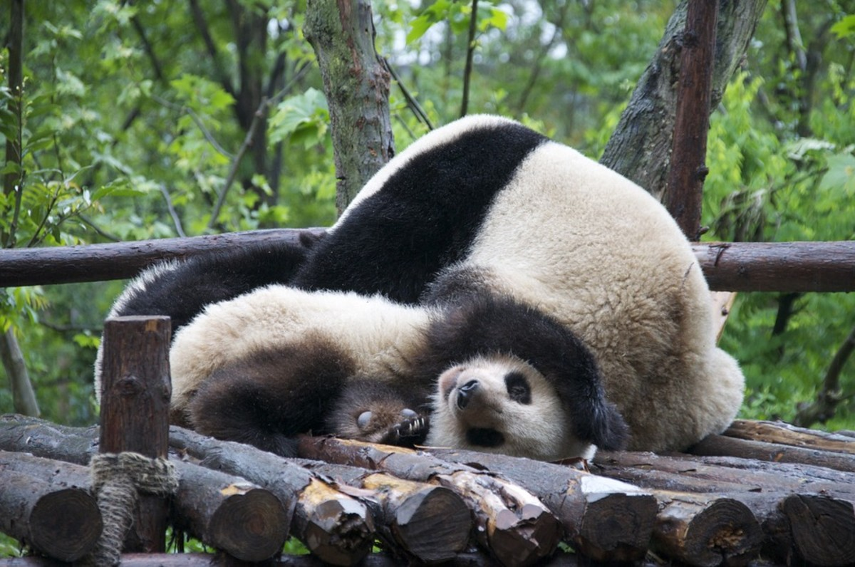 Mother pandas often crush their tiny babies under their own body weight.