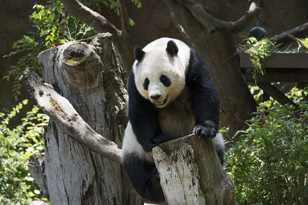 Pandas are bears, though they share some similarities with raccoons.