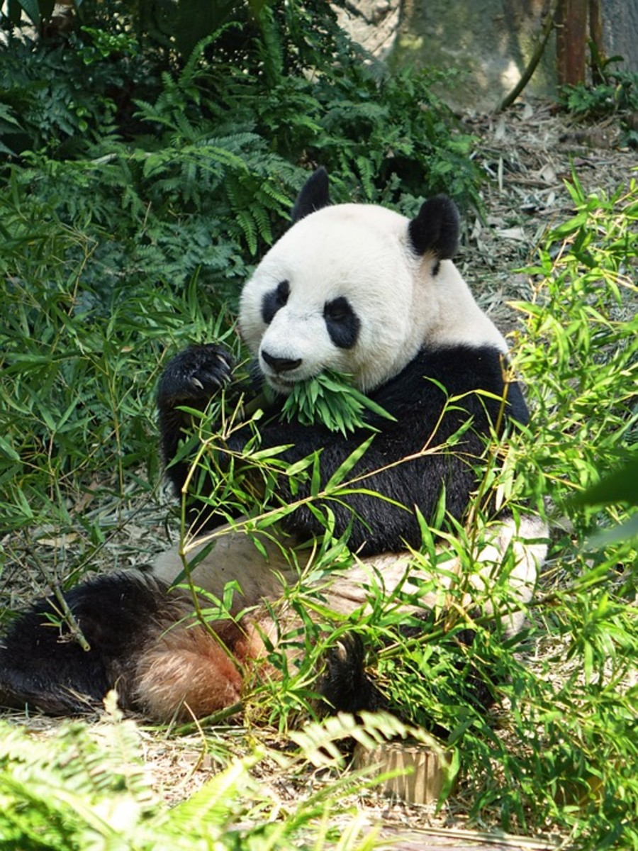 Pandas love bamboo, even though their digestive systems are ill-designed to process a vegetarian diet.