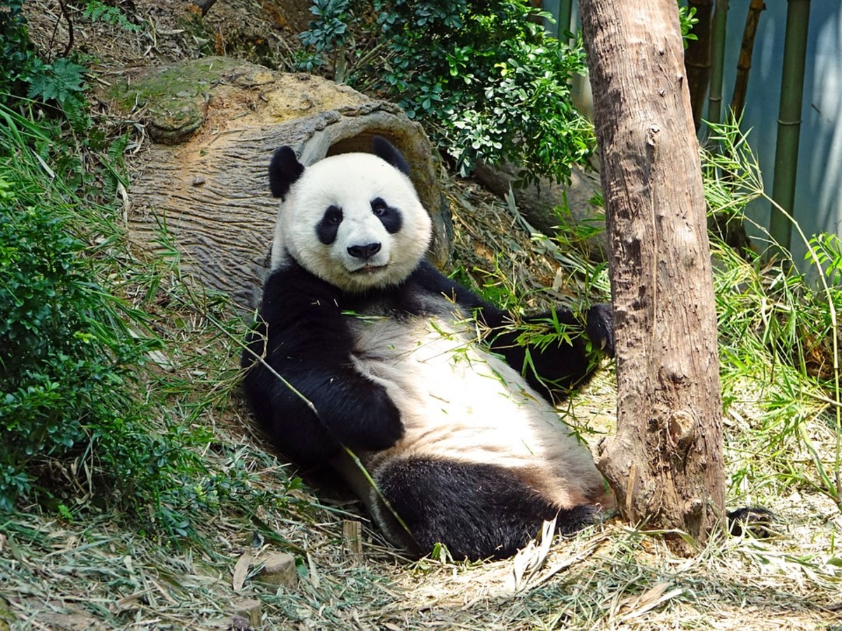 Pandas aren't interested in mating with each other.