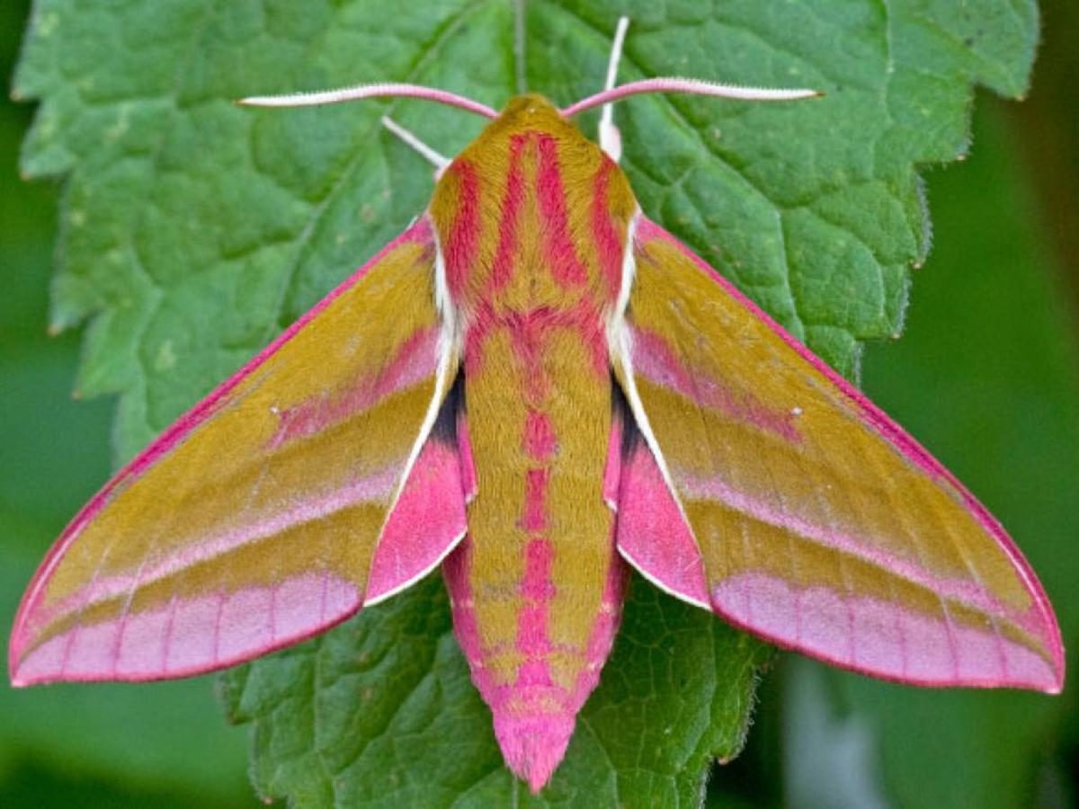It's hard to believe a caterpillar capable of snake mimicry could turn into this beautiful, colorful elephant hawk-moth.  Both the elephant hawk-moth and the small elephant hawk-moth are found in England, Northern Ireland, Scotland and Wales.