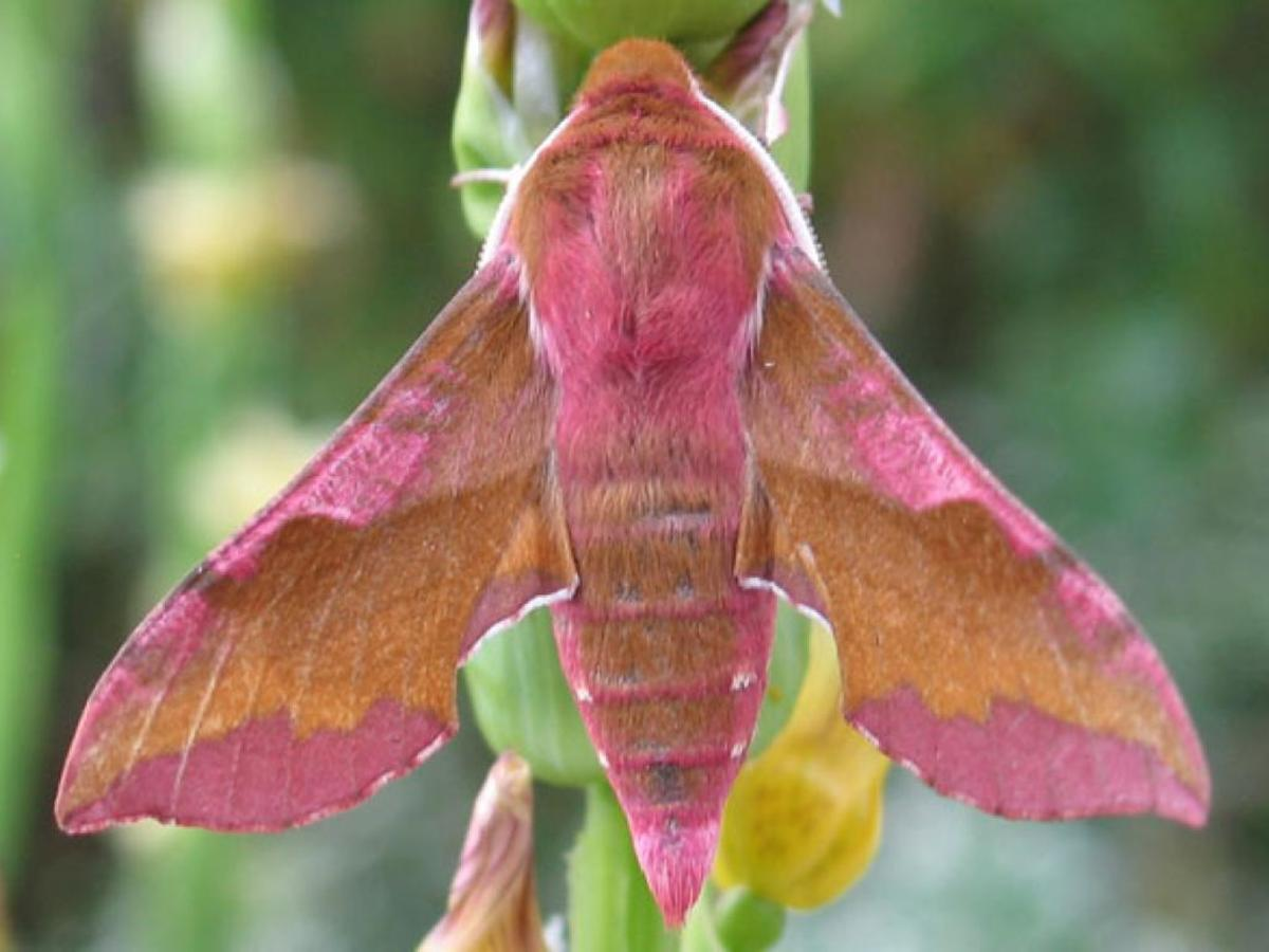 This is the very similarly-colored small elephant hawk-moth (Deilephila porcellus). They are found in a range of habitats including open countryside, the edge of woodlands, and in urban gardens.