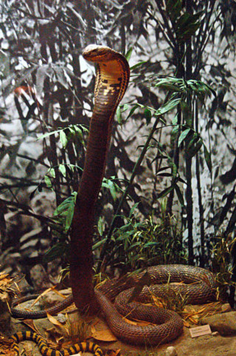 A king cobra in a typical defensive posture.