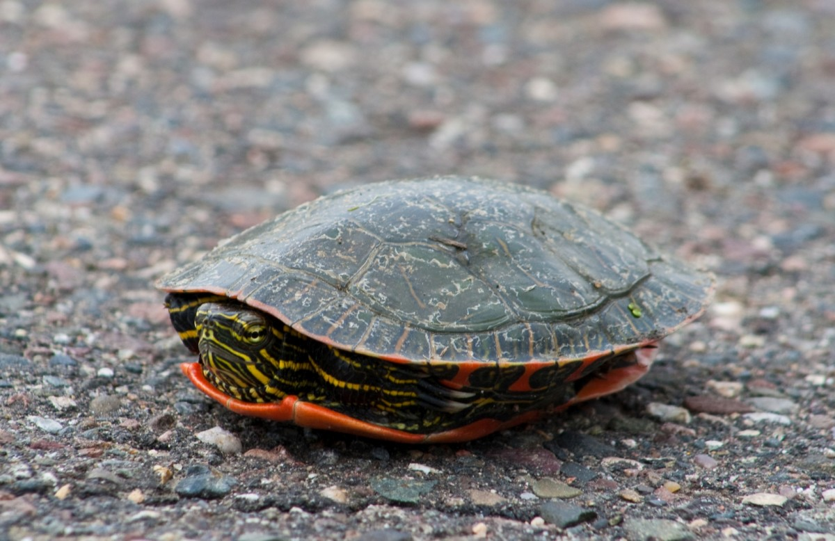 A box turtle retracting into its shell.