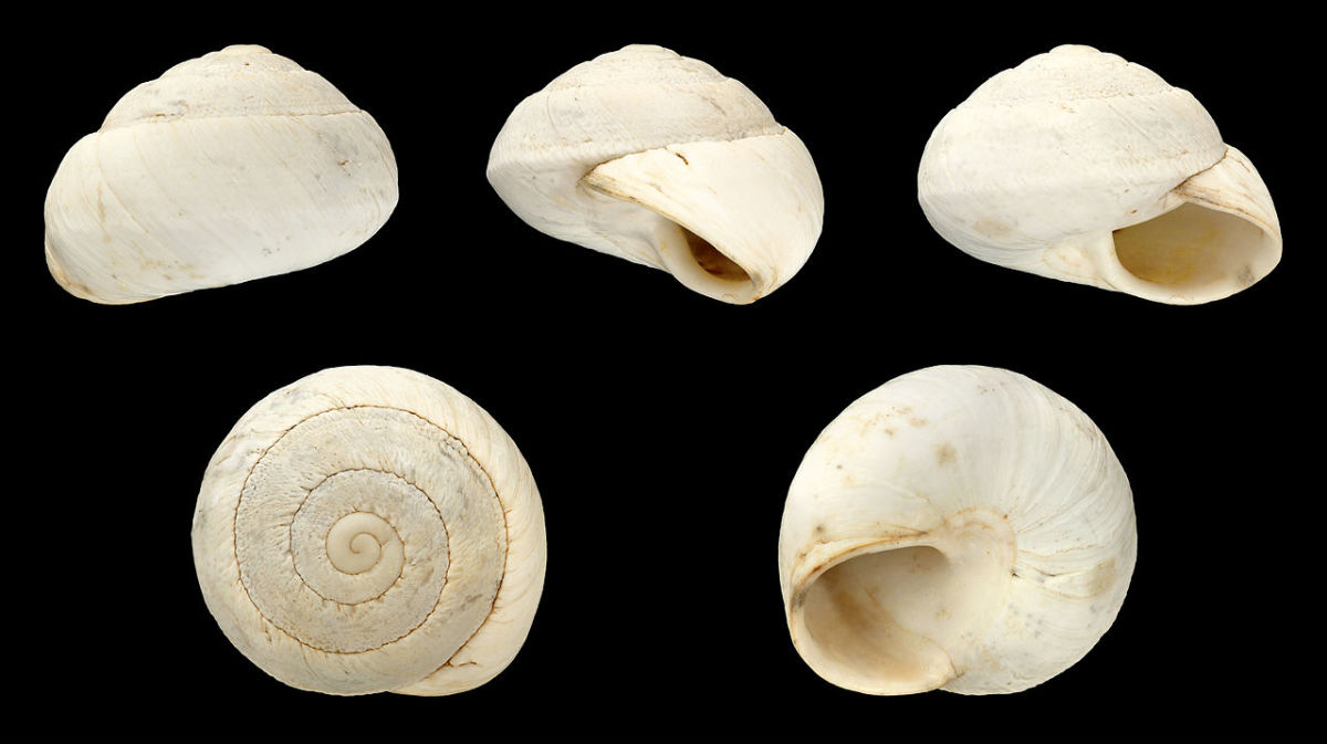 Shell views of Sphincterochila maroccana, a type of land snail that lives in very hot and dry environments. Its white shell reflects sunlight, keeping the snail cool.