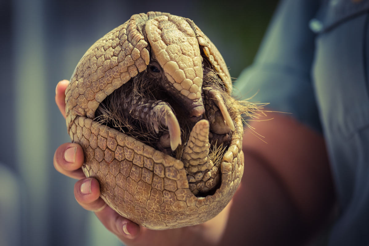 A three-banded armadillo curled into a ball.