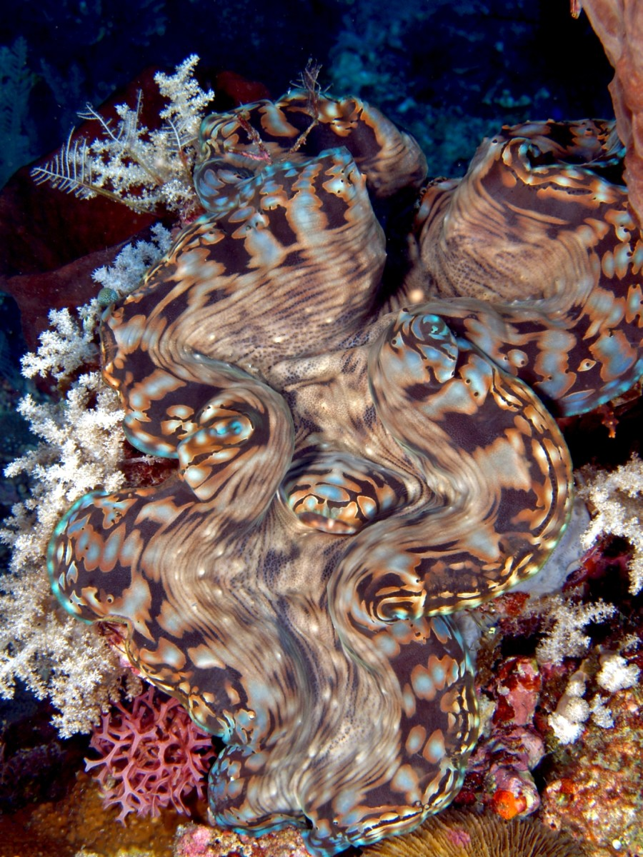 A giant clam (Tridacna squamosa). The mantle is the colorful outline of the shell.