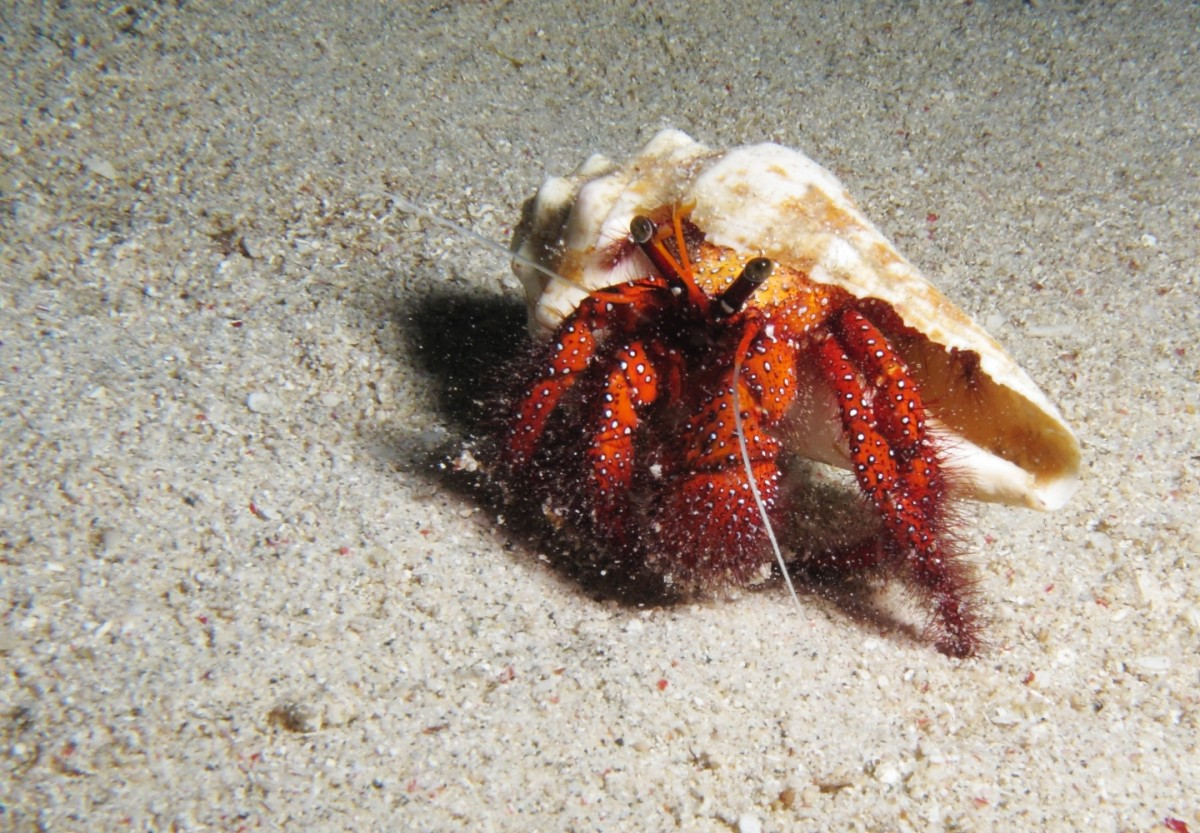 A white-spotted hermit crab wearing a mollusk shell.