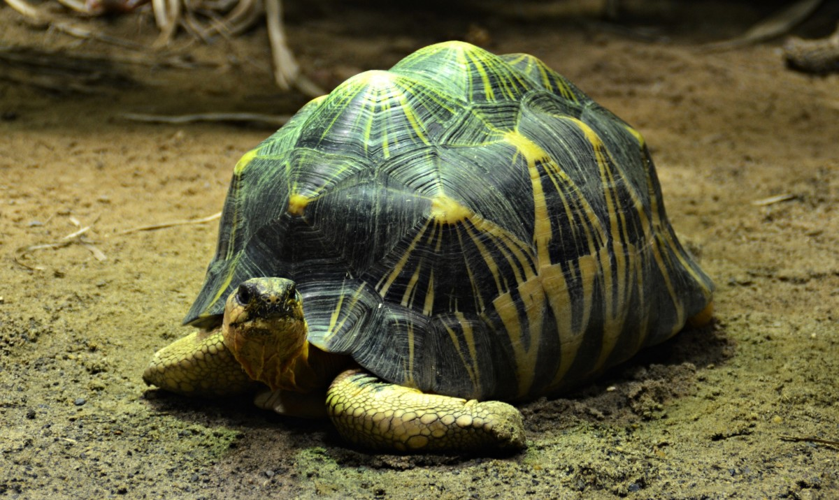 Radiated tortoise (Astrochelys radiata).
