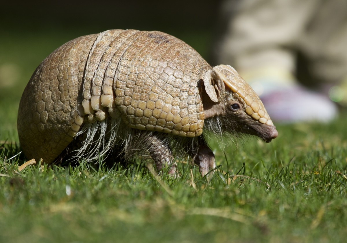 A three-banded armadillo at the San Diego Zoo.