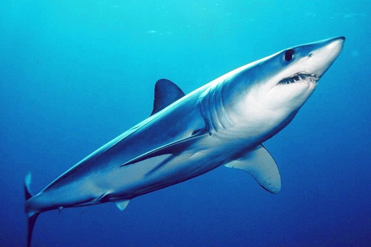 The shortfin mako is the fastest shark in the ocean and its great speed and agility has caused it to land on boats, albeit accidentally.