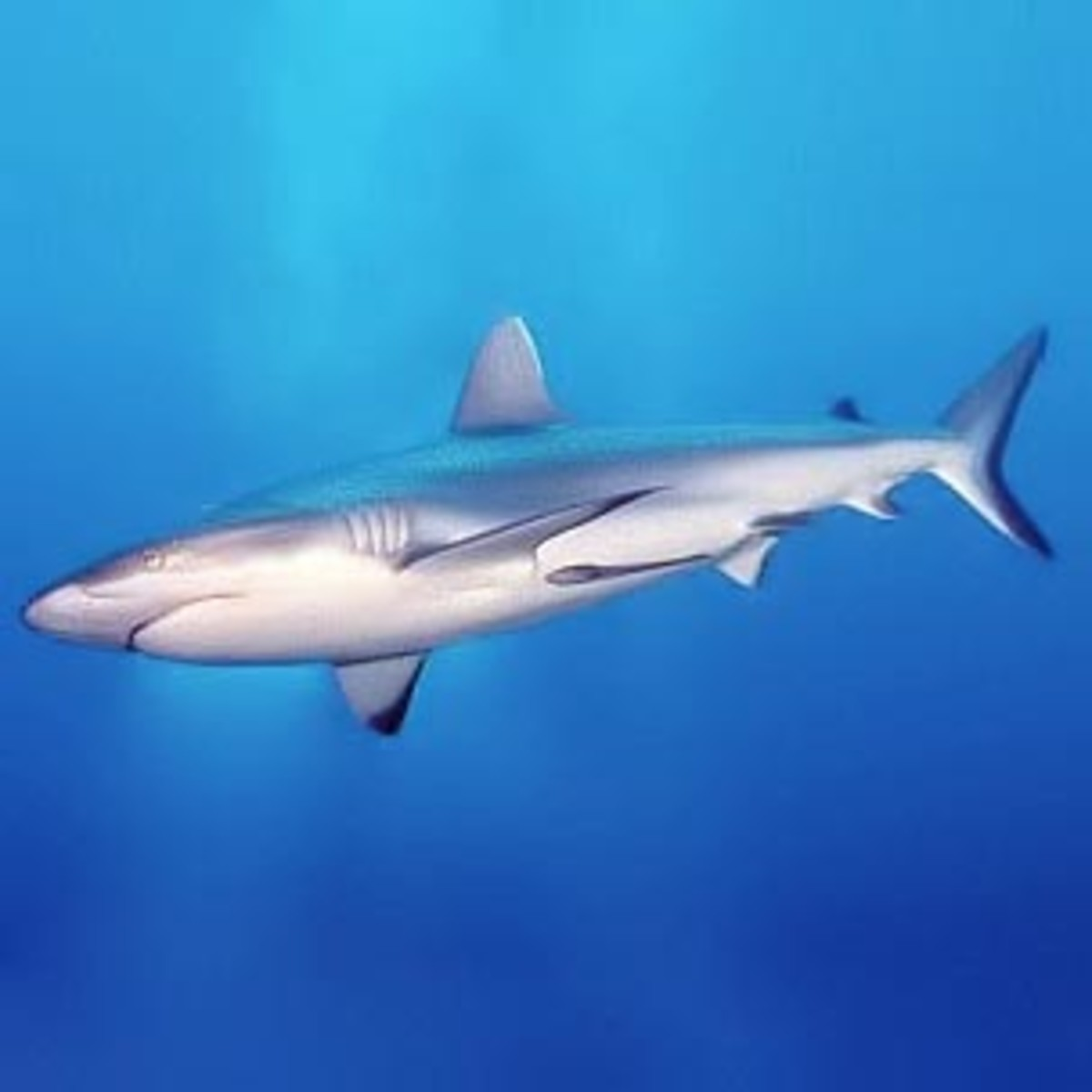 Sharks can only swim in a forward direction. When hunting, they swim slowly to avoid detection, then dart forward when they get close enough to their prey.