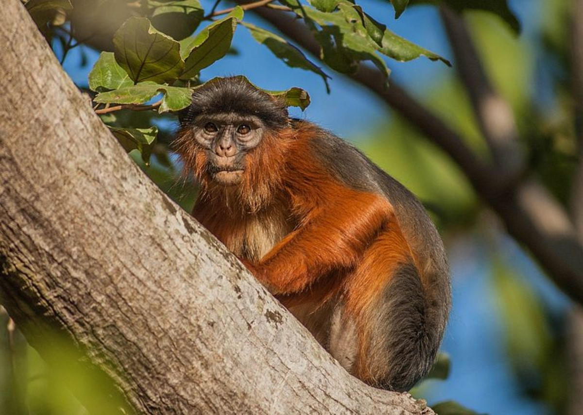 Recent research has revealed that chimpanzee predation may be a considerable selection factor in the populations of red colobus monkeys in certain areas.