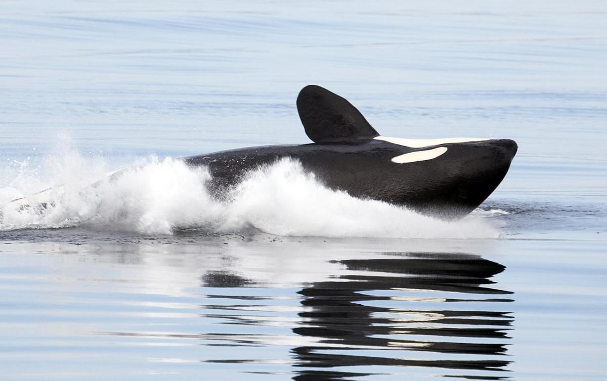 10-facts-about-killer-whales