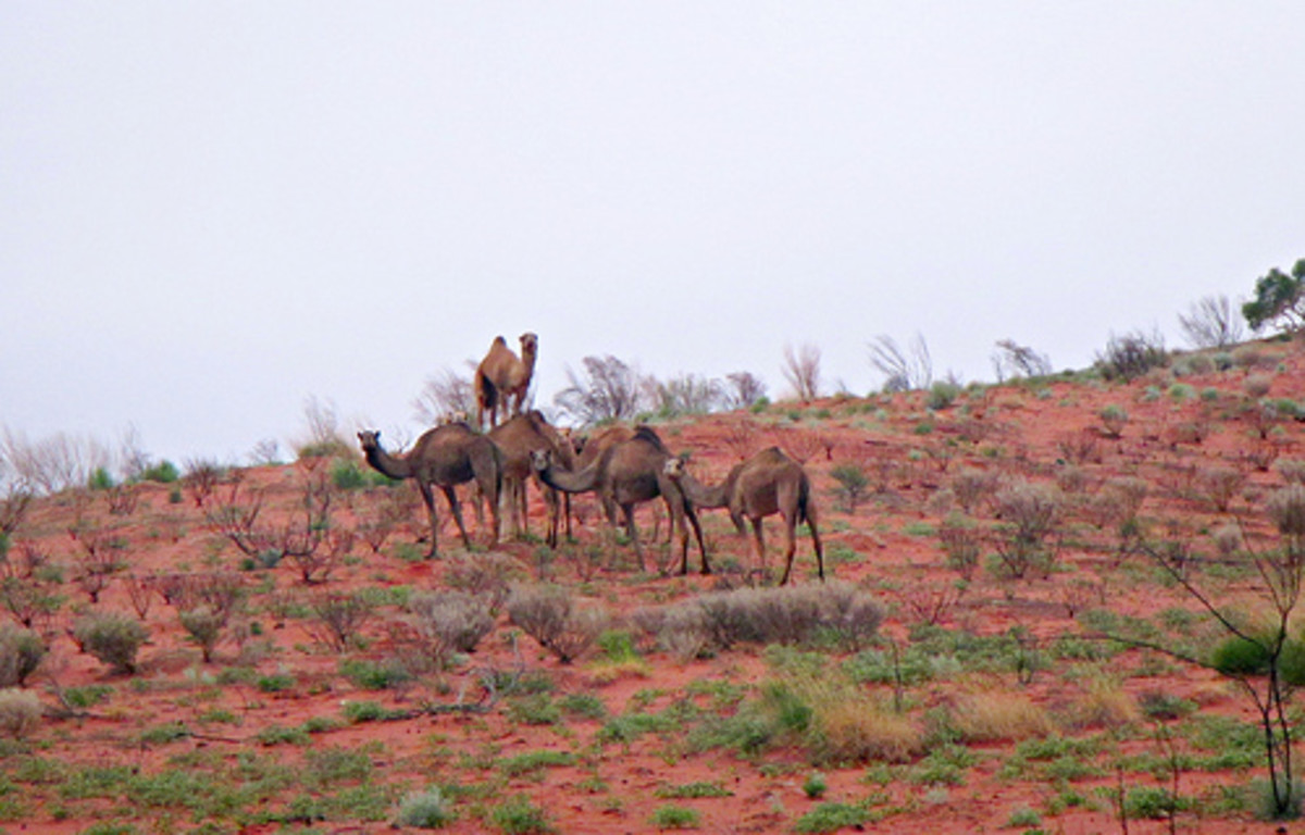 It's tough to even survive in the Australian outback but camels relish the environment.
