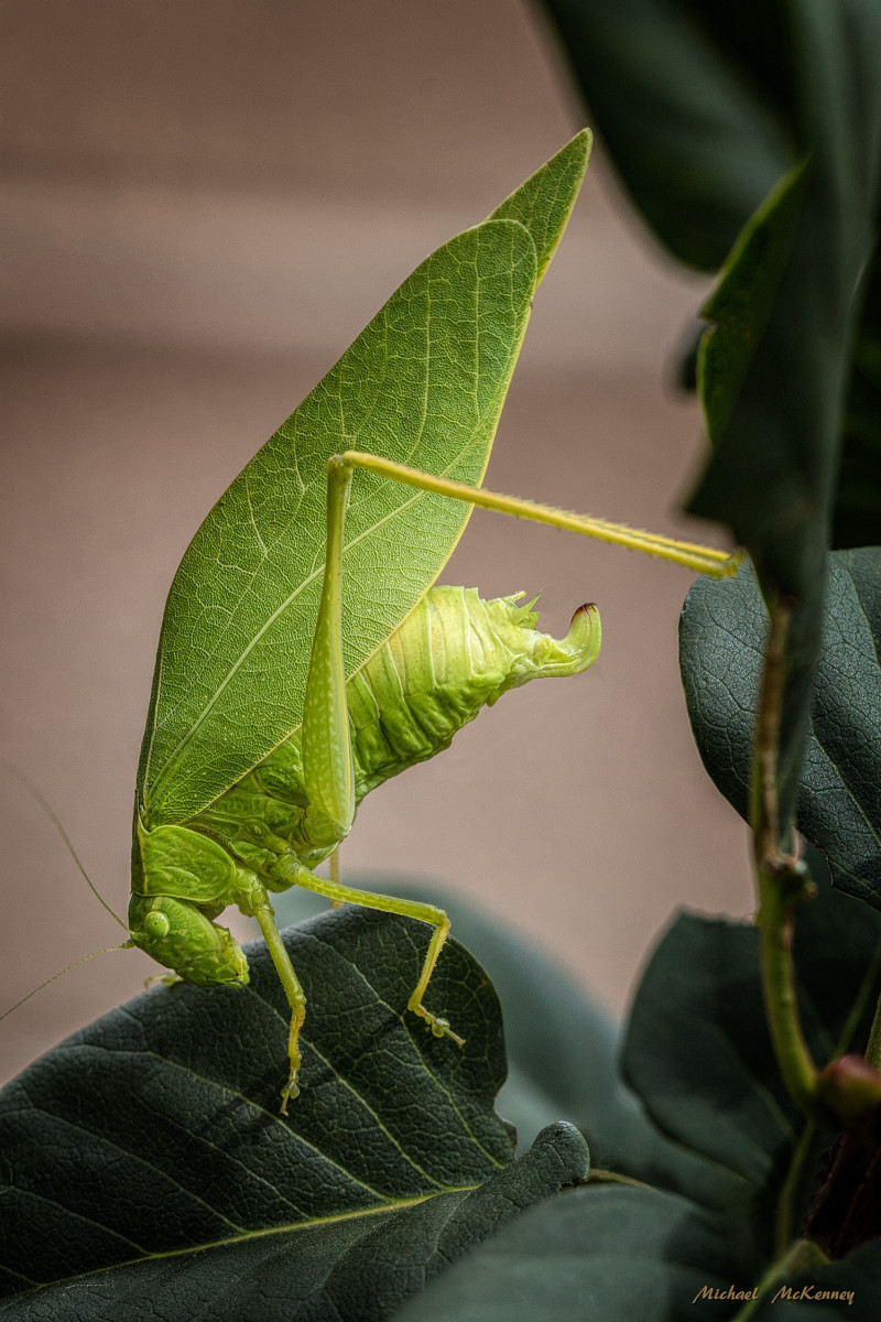 In this photo, you are able to see the ovipositor clearly, the tubular organ through which this female Katydid will deposit her eggs, which will hatch in the spring.  Shortly after she deposits the eggs she will die.