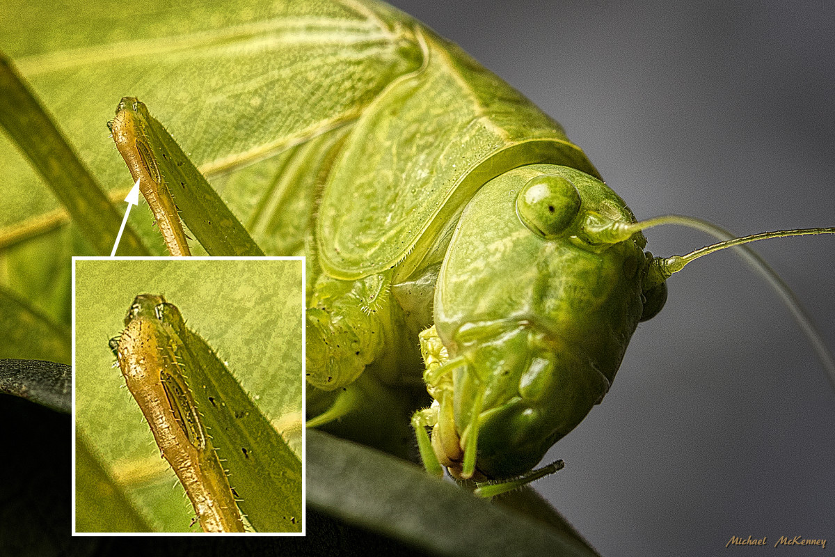 In the close-up insert photo you can see the  tympanum, a slit-like or flat patch on each front leg that enables them to hear the sounds of the other Katydids.