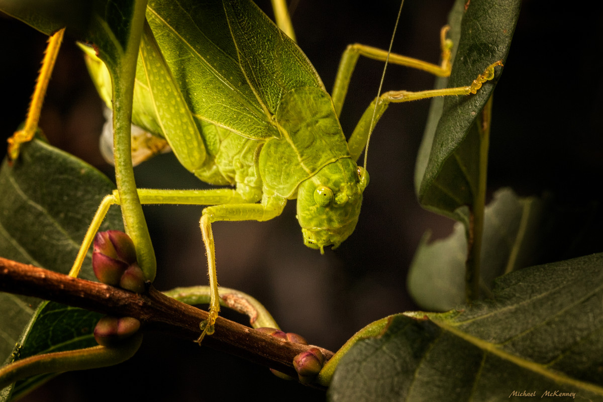 This female Katydid has already found her mate and will soon be laying eggs somewhere on a plant stem or a leaf, although she will not get the opportunity to raise her young, and instead will leave them to hatch in the spring as she goes off to die.