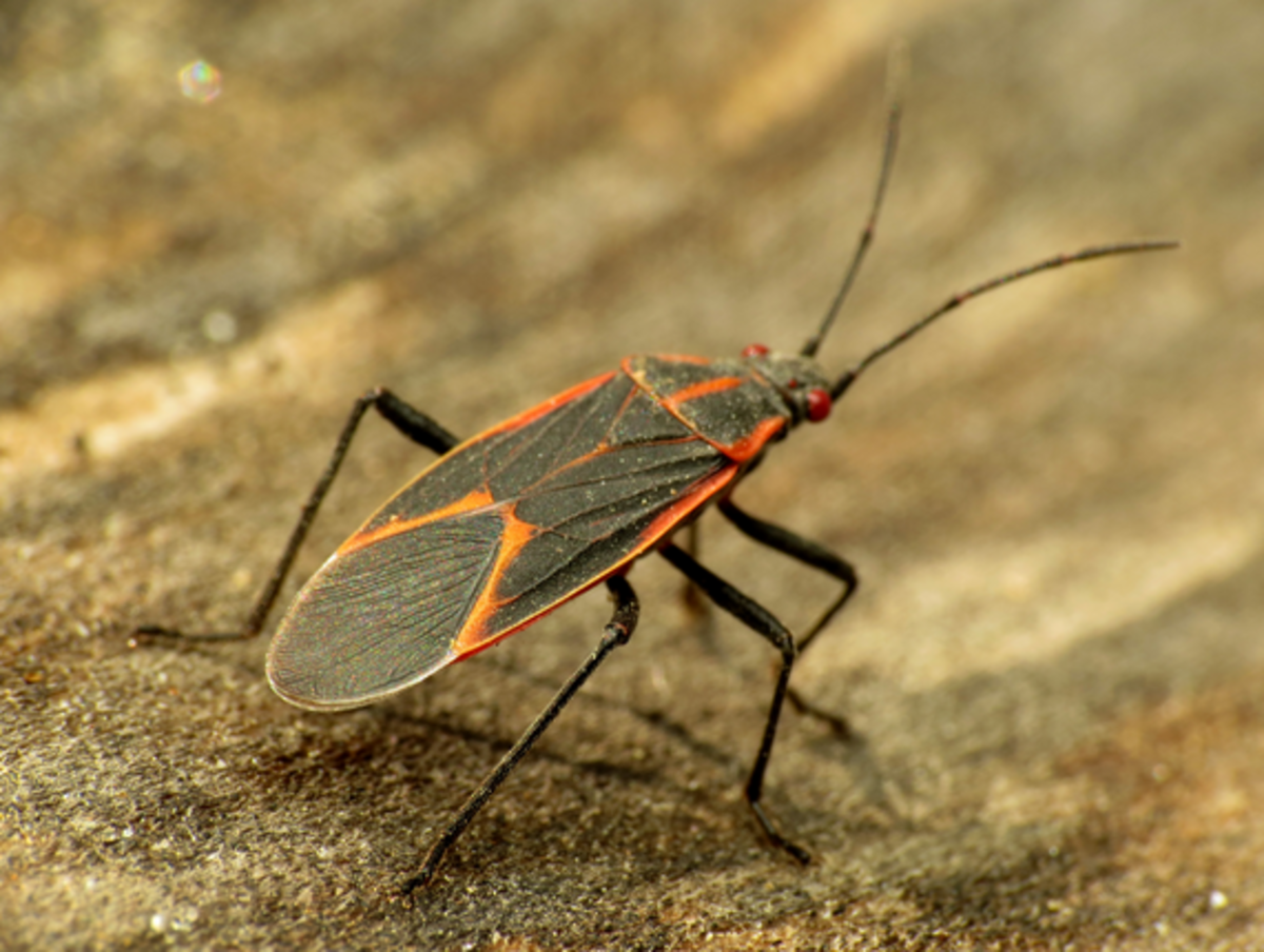 Bug Identification: An Identification Guide to Insects and