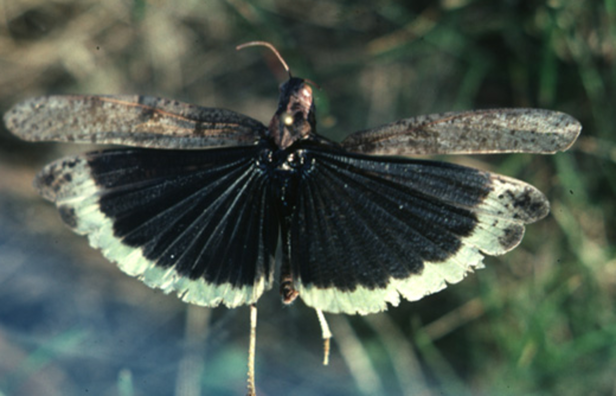 Specimen of Dissosteira carolina showing banded wings (uniprot.org/taxonomy/37265)