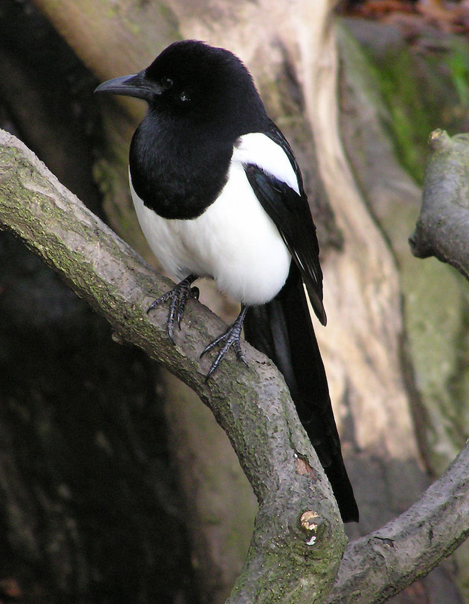 the-folklore-of-magpies