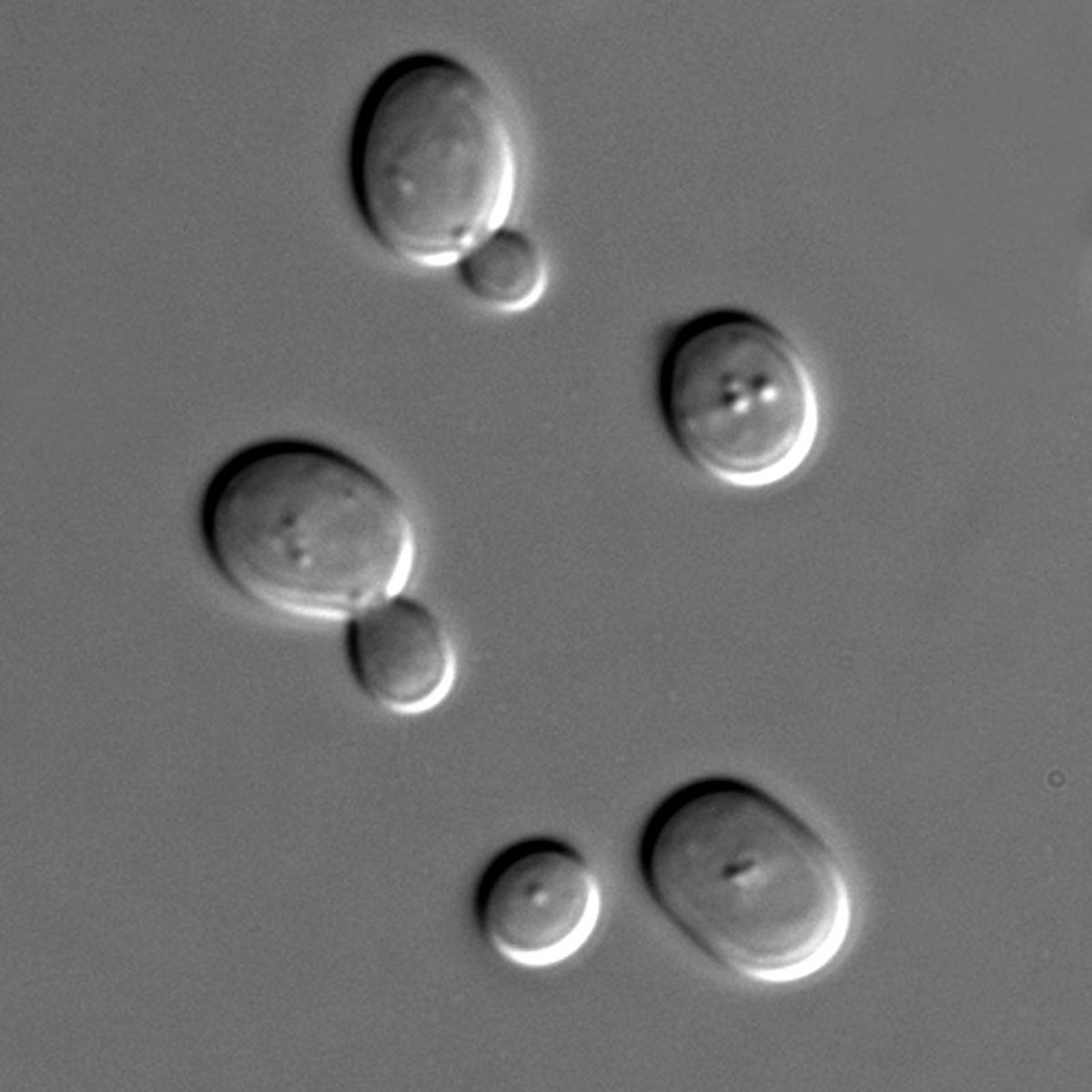 This image of yeasts was taken using a high-powered microscope. Yeasts are used in brewing and baking because their anaerobic respiration process produces ethanol (which makes beer alcoholic) and carbon dioxide (which makes bread rise)