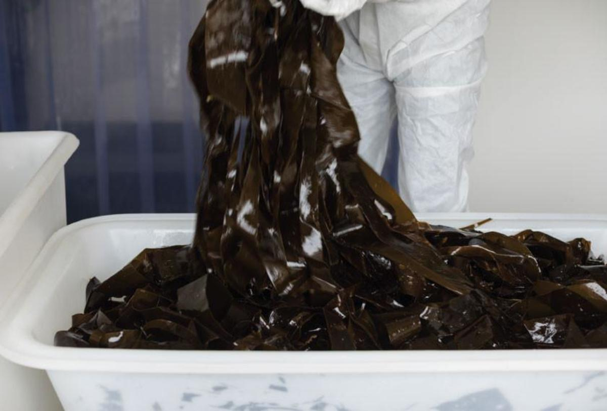 Kombu is commercially sold because of its added content to dishes by the release of the Umami flavor. Here we see Kombu being prepared to be packaged in a facility.