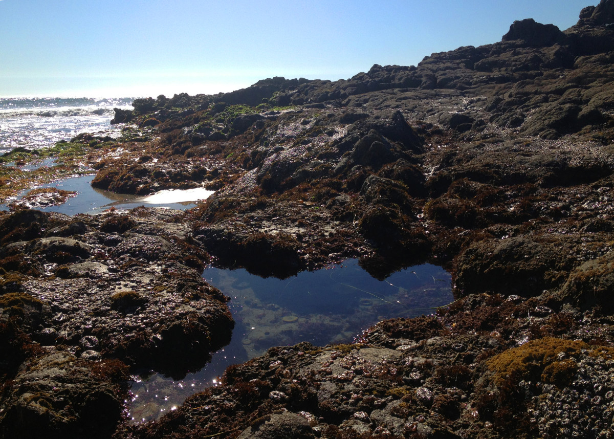 Tide pool conservation should always be your number one concern when foraging for seaweed. It can be a bountiful and beautiful place if you can keep if that way. Leave no trace or track when harvesting your seaweed.