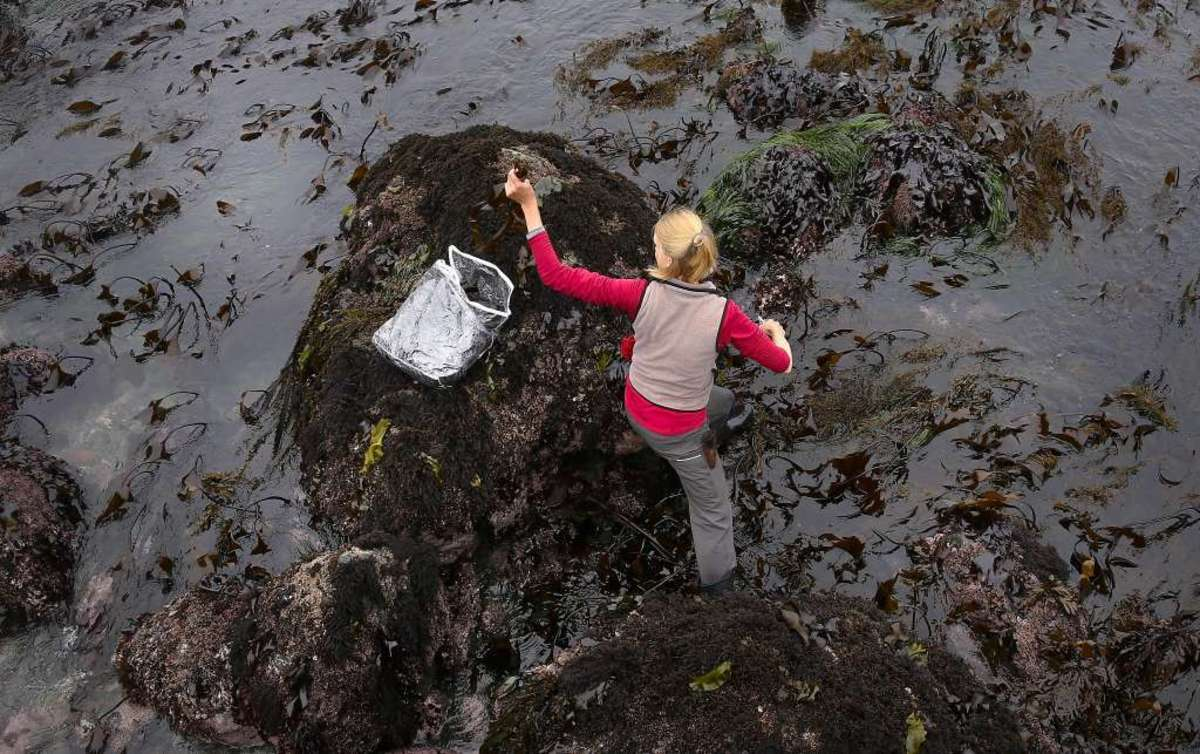 This person is foraging seaweed off of the Northern California coast at low tide. The black rocks are extremely slippery and watch out for clams, mollusks, and other shelled friends.