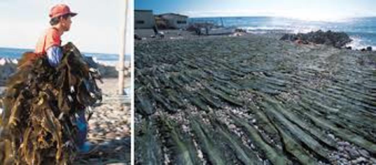 这是日本的海带觅食者。日本北部海岸附近的海带长达30英尺,是当地渔业人口的重要收入来源。渔网已经被拉了出来,在海带上建立了一个安全的屏障。