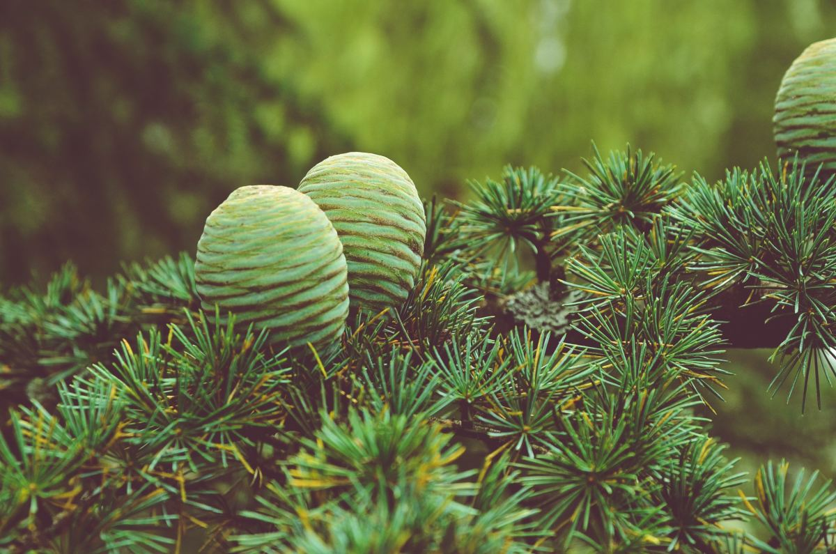 The sturdy female pinecones that sit towards the top of the trees.