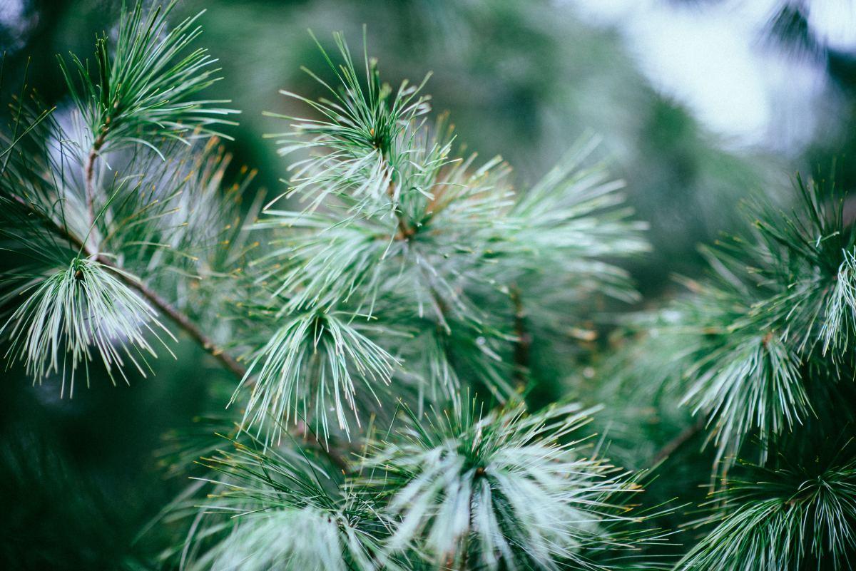Variety of atlas cedar - Sahara-Cedar-Ice