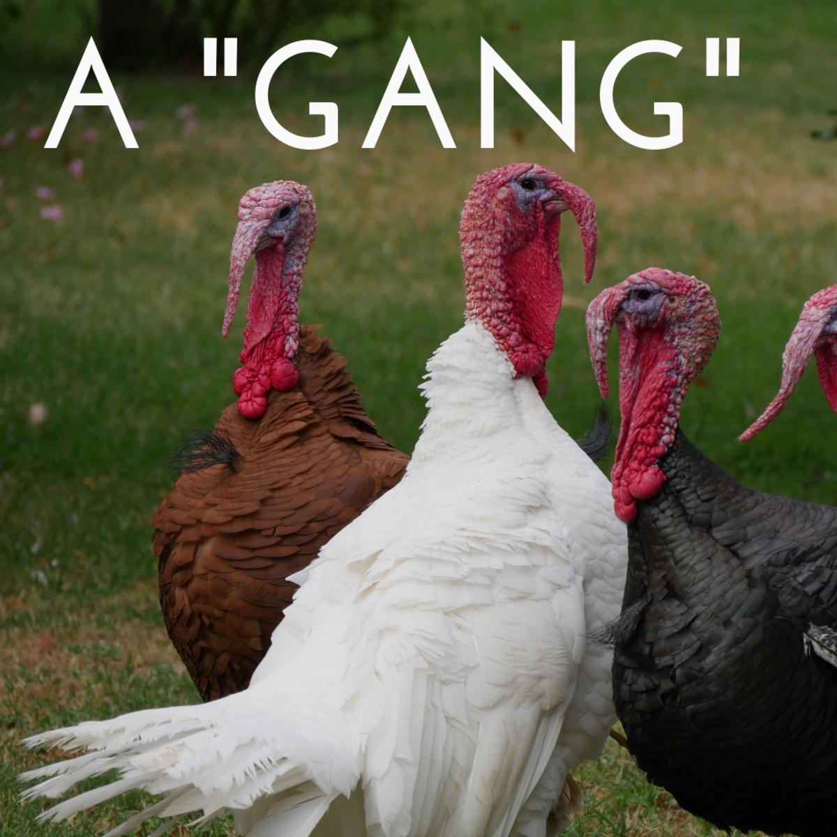 A gang of turkeys.