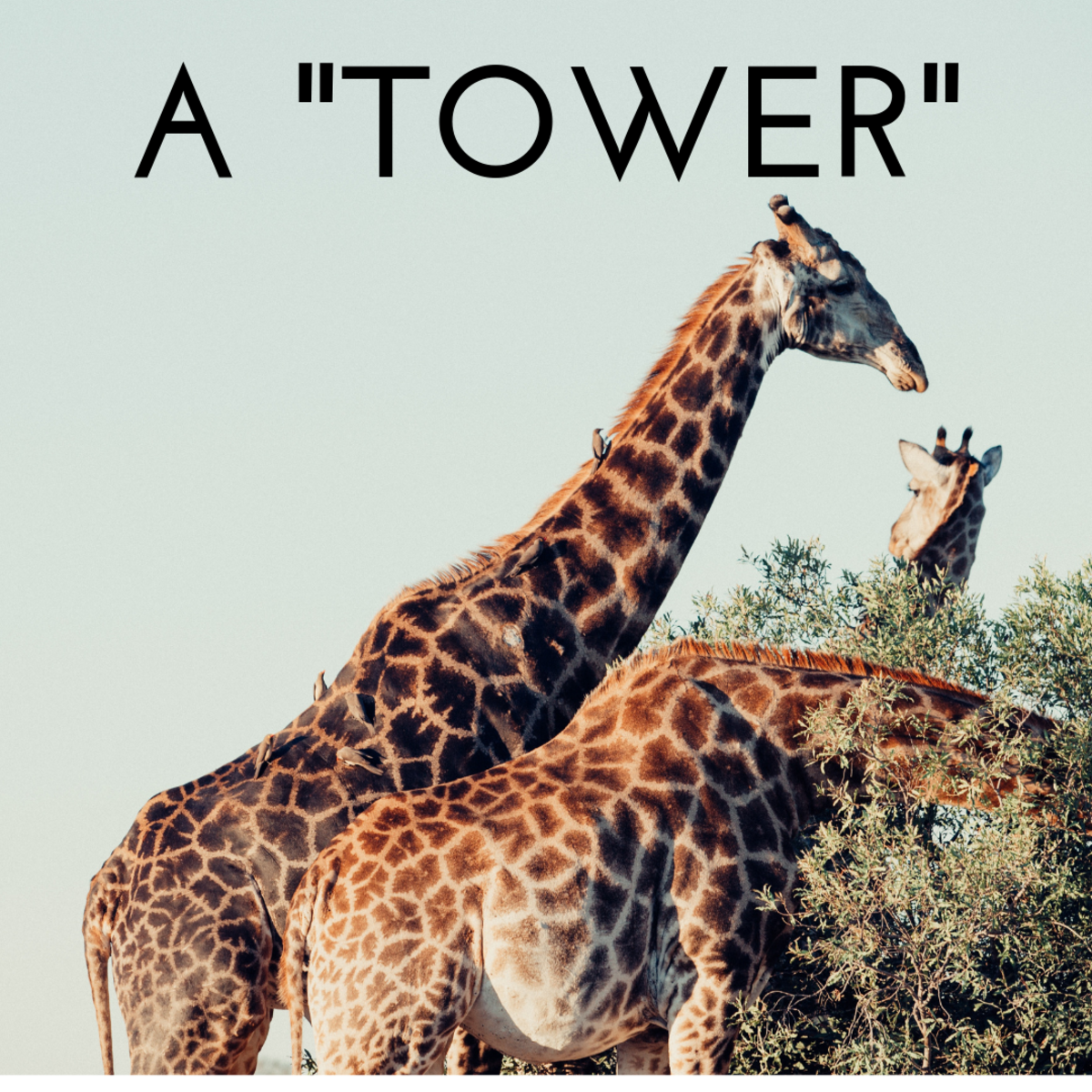 A tower of giraffes.