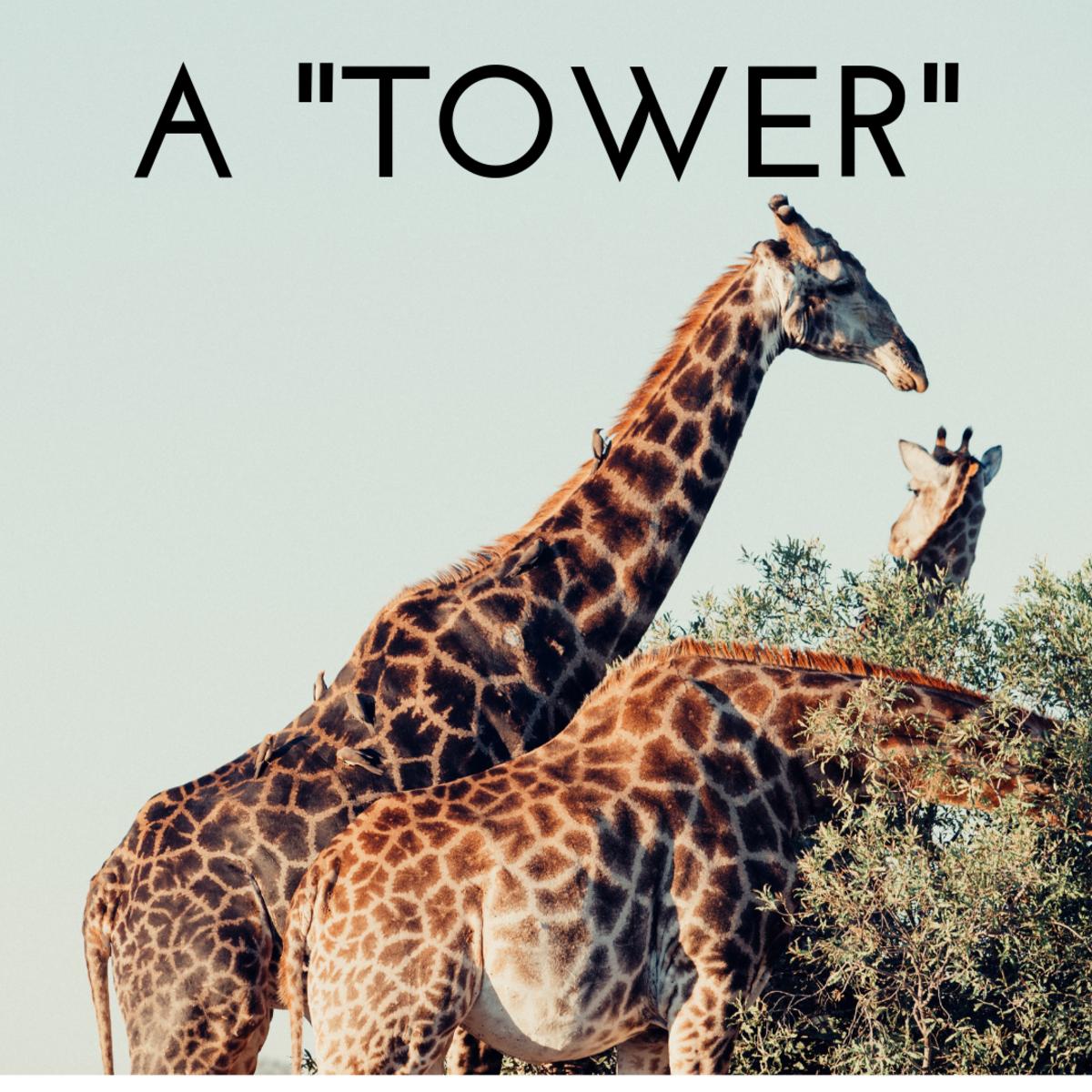 A tower of giraffes.