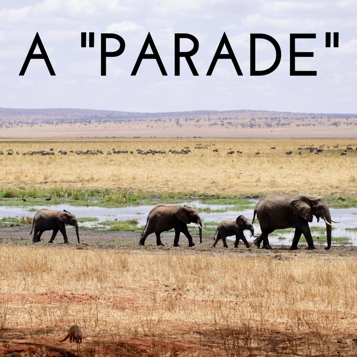 A parade of elephants.