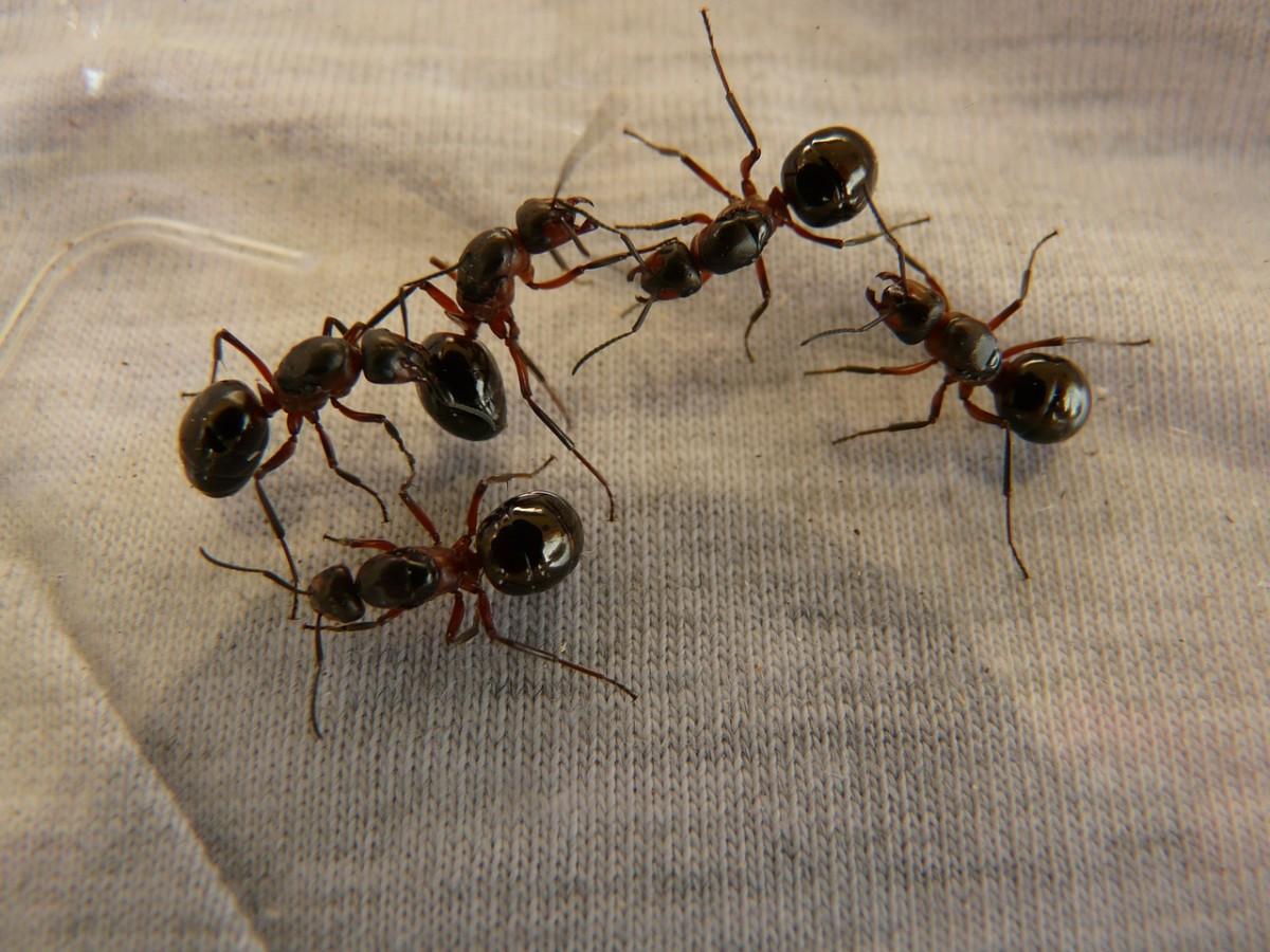 Wood ants, showing the typical ant body shape