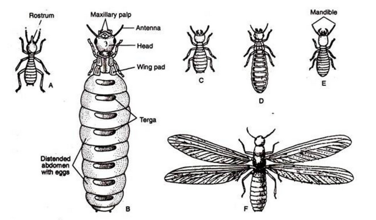 Diagram showing the various forms of the termite