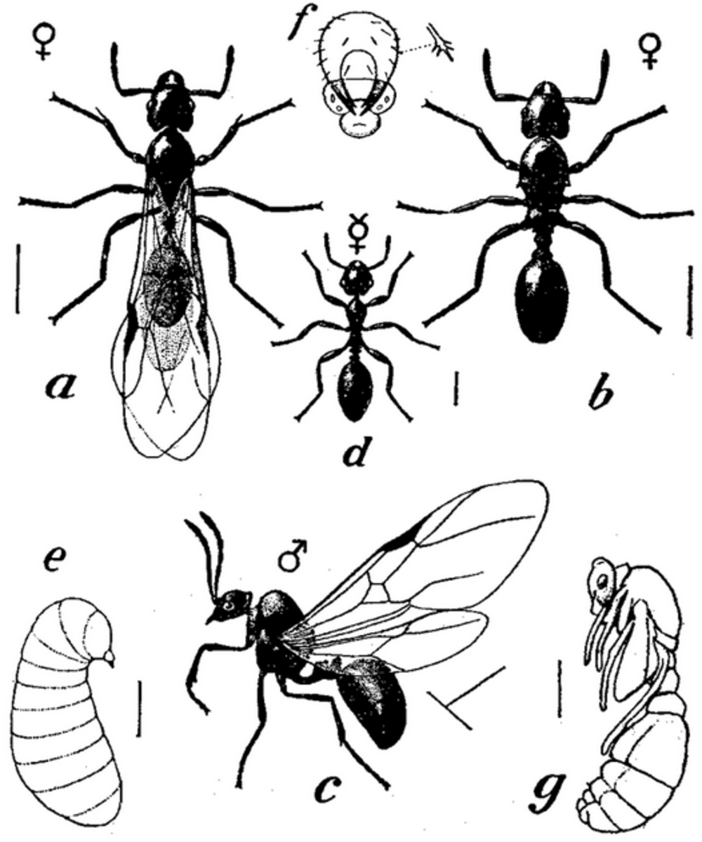 Diagram showing the physical properties of winged and non-winged ant forms