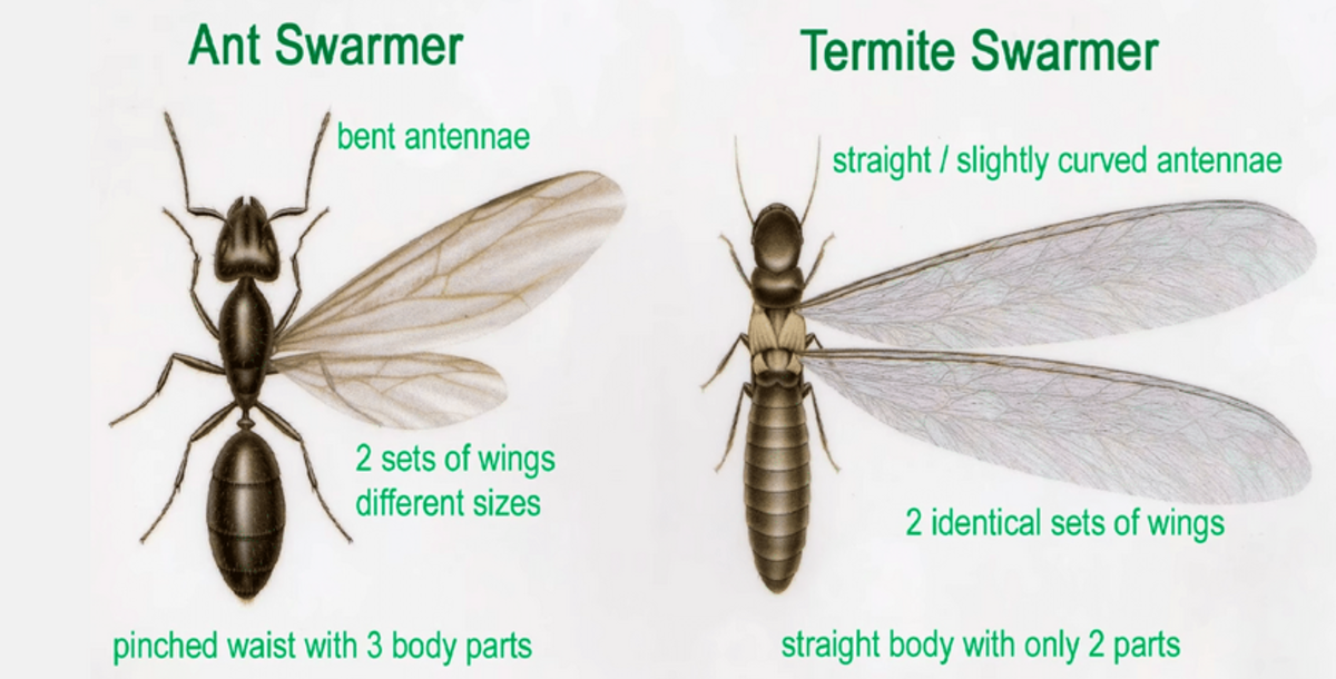 Flying ants and flying termites appear similar, but have several key differences