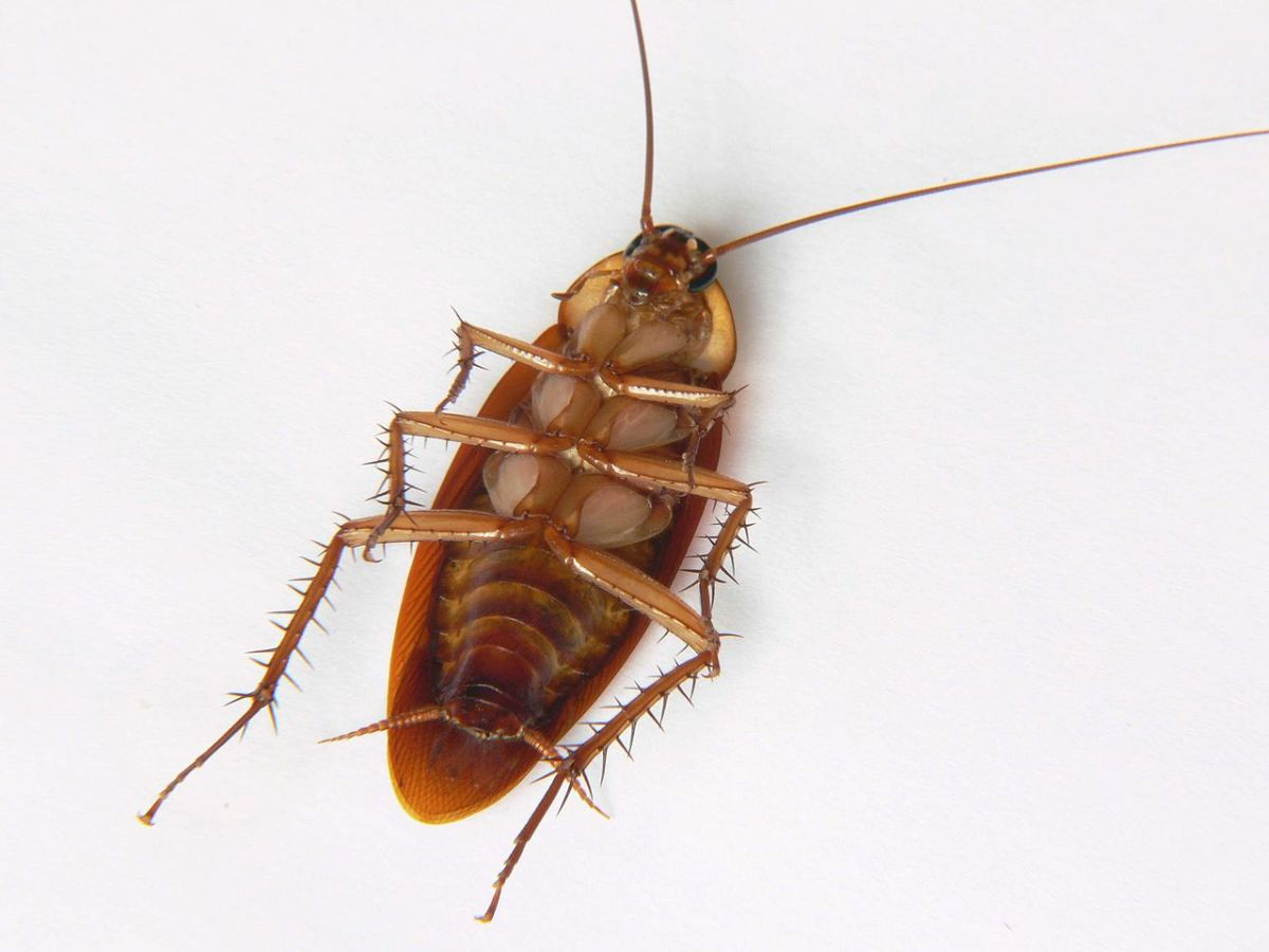 Underbelly of the common American Cockroach.