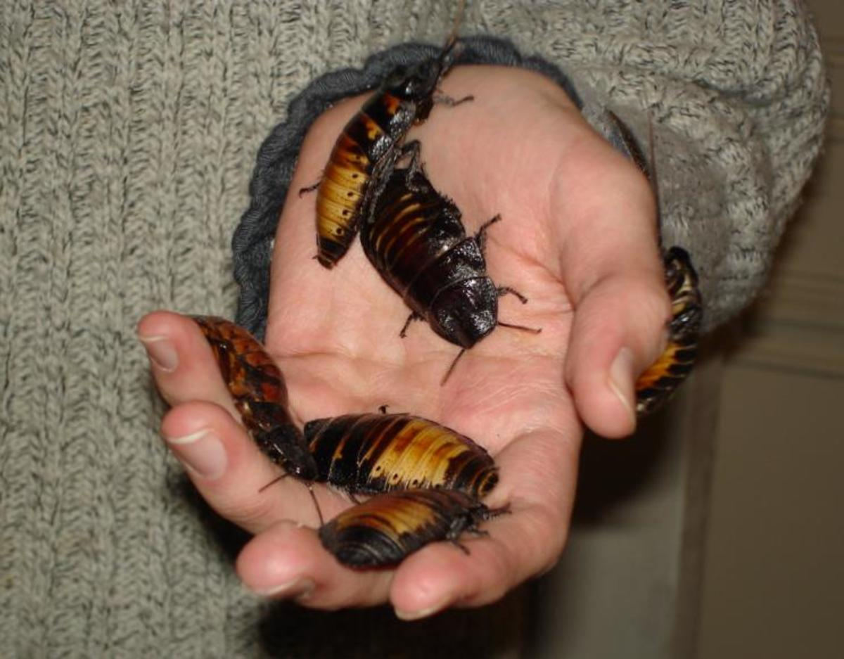 Madagascar Hissing Roaches; often used as pets.