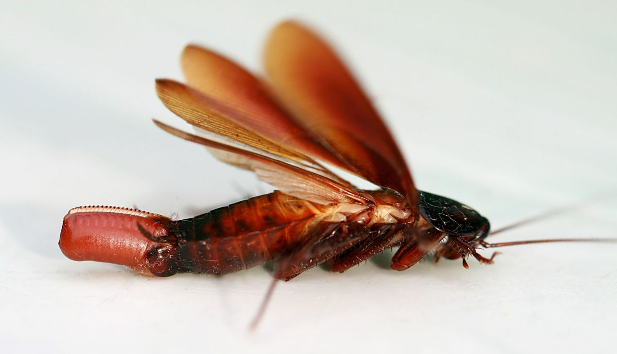 Female cockroach with ootheca attached.