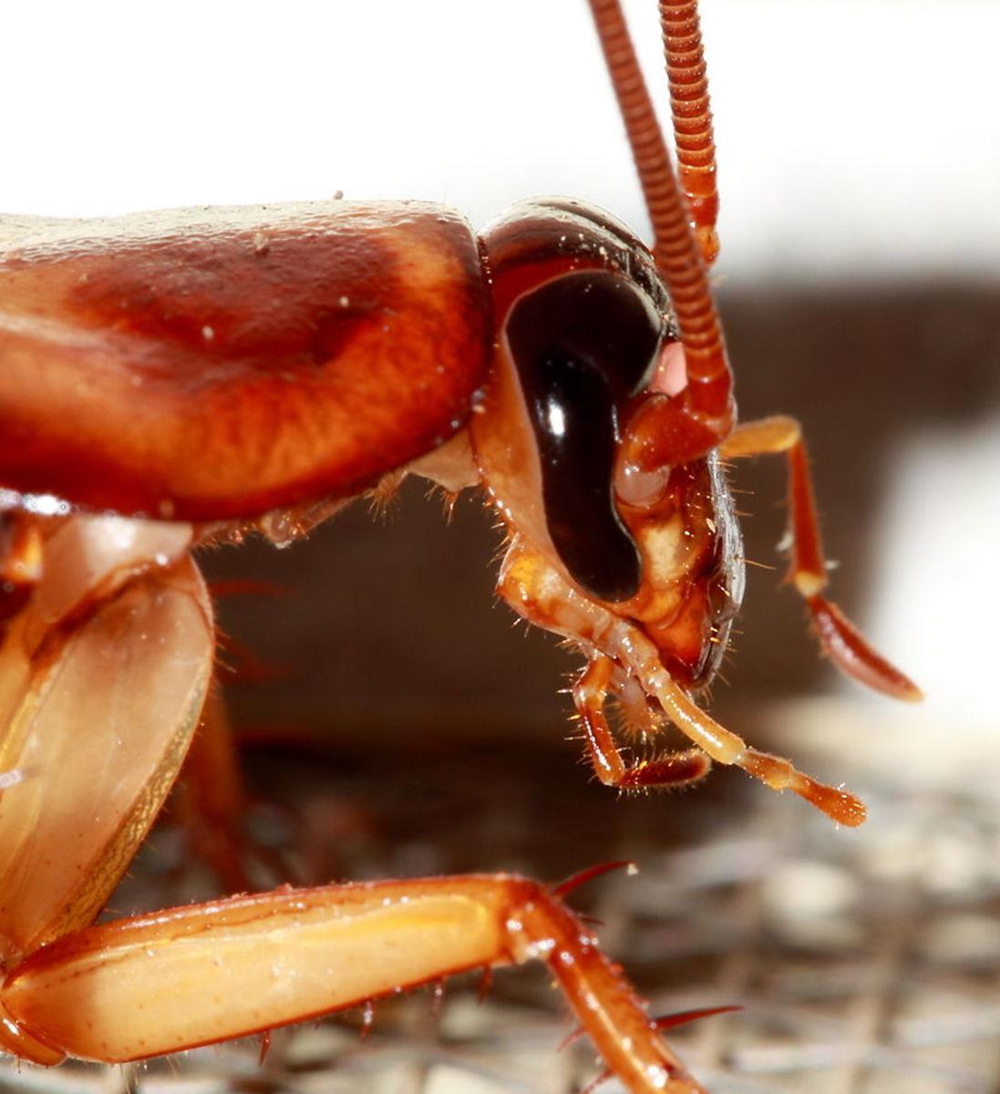 Head of American Cockroach.
