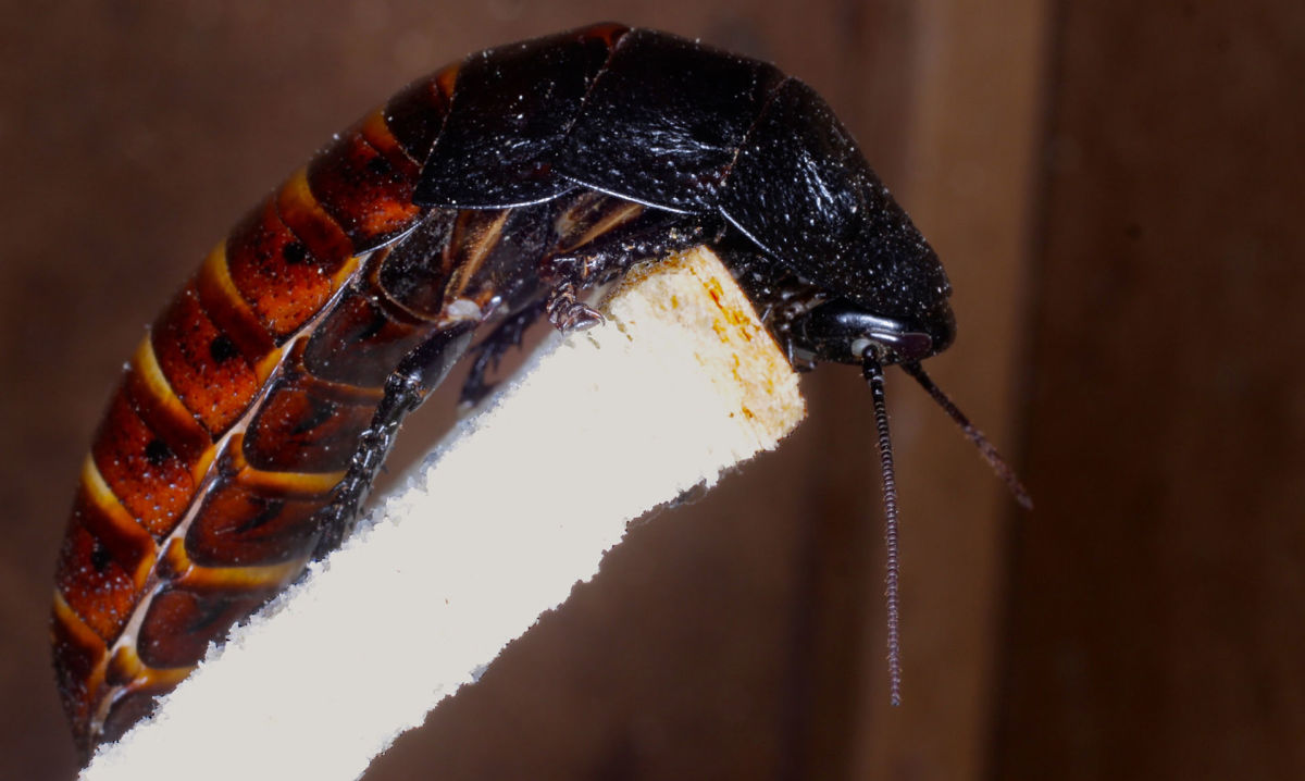Madagascar Hissing Cockroach (Up Close). This roach is known to make various sounds when startled.